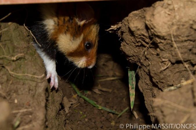 Grand hamster d'Alsace dans son terrier