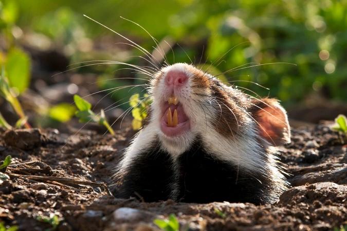 Grand hamster montrant ses dents particulièrement puissantes.