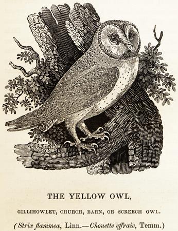 Gravure de Thomas Bewick publiée en 1847 dans History of British Birds— Les joies d'une systématique qui évolue.