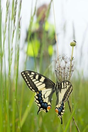 Gros plan sur papillon machaon sur terrain d'aéroport