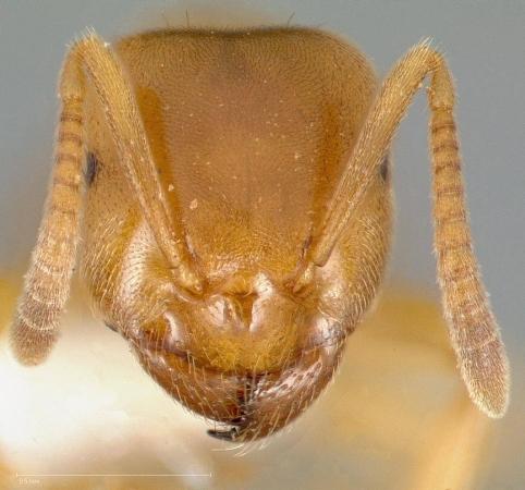 Gueule de fourmis jaune Lasius flavus