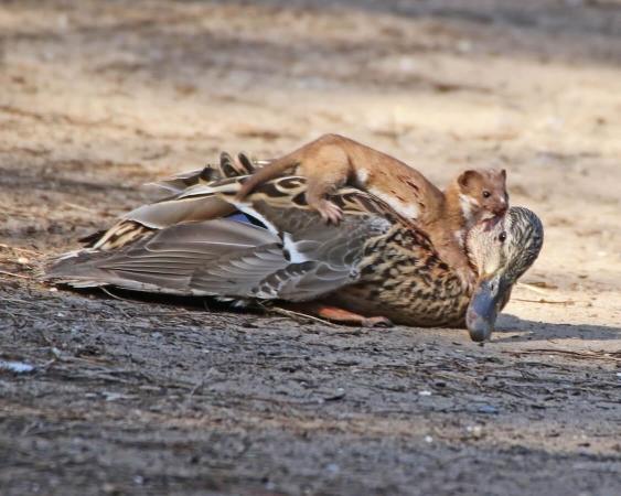 Hermine s'attaquant à un canard