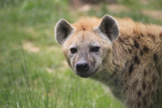 Hyène du zoo de Peaugres
