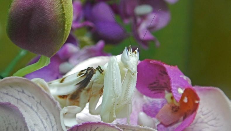 Hymenopus coronatus (mante orchidée) au Museum d'histoire naturelle de Lille