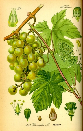 Illustration Vitis vinifera