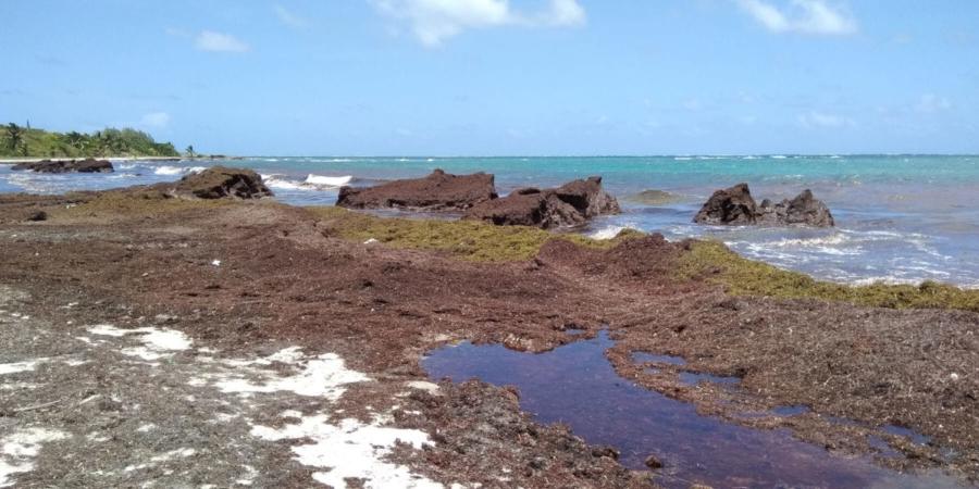 Invasion de sargasse en Martinique
