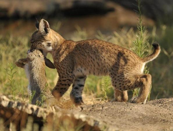Jeune lynx Ibérique mangeant un lapin de Garenne