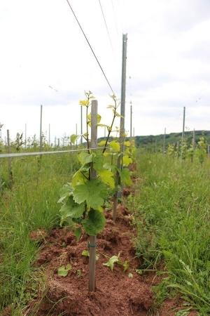 Jeune vigne de riesling avec rang enherbé en hauteur