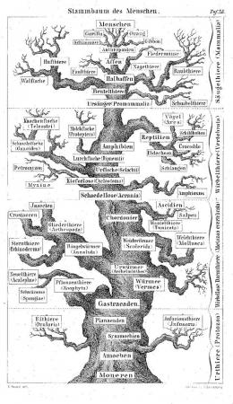 L'Arbre de Vie de Haeckel
