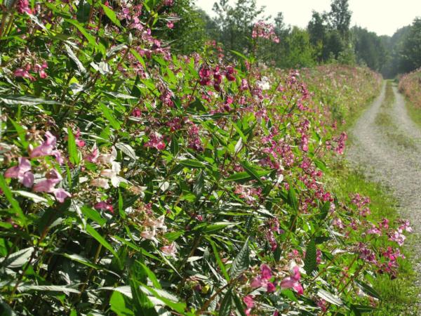 La Balsamine de l'Himalaya, une plante dite invasive bien connue