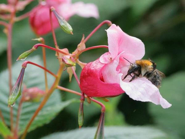 La Balsamine de l'Hymalaya (Impatiens glandulifera) nourrit aussi les Apidae