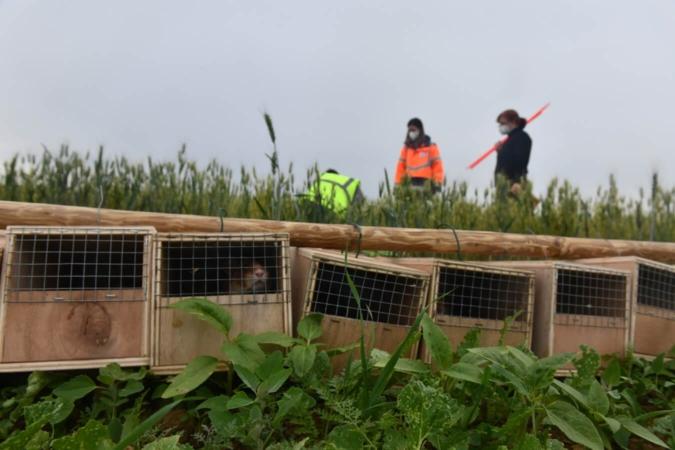 La séquence ERC, comme ici avec le Grand Hamster d'Alsace, peut représenter des enjeux colossaux de sauvegarde d'espèces