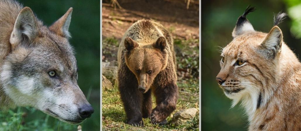 Le loup, l'ours et le lynx sont les trois grands prédateurs d'Europe.