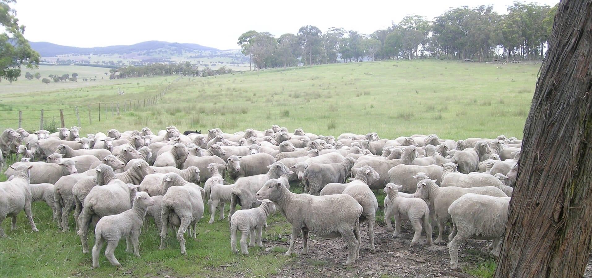 Preview de Les races ovines françaises en conservation