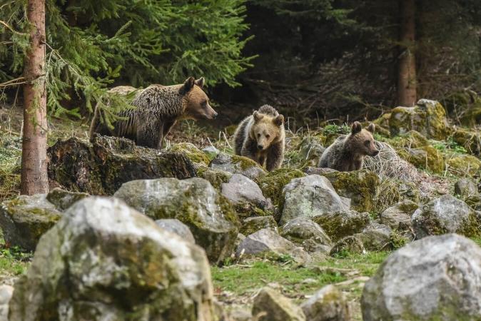 Les activités humaines réduisent le territoire des ours en Roumanie.
