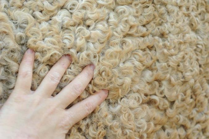 Les chevaux Curly ont le poil très doux