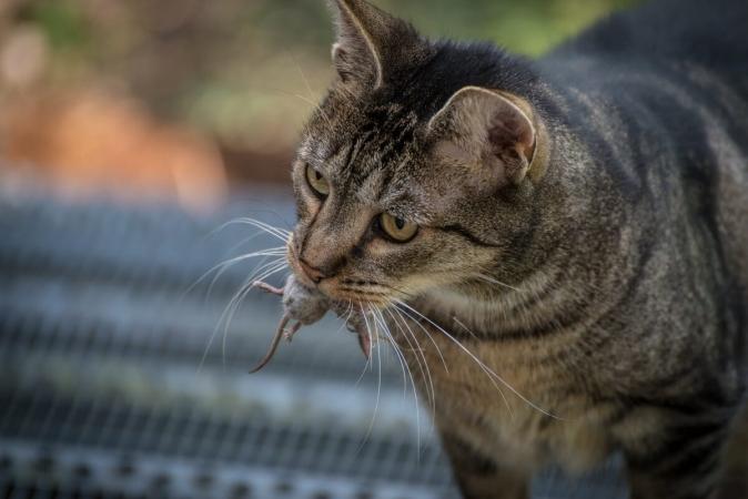 Les petits rongeurs font parti du régime de chasse de nos félins comme bien d'autres petits animaux.