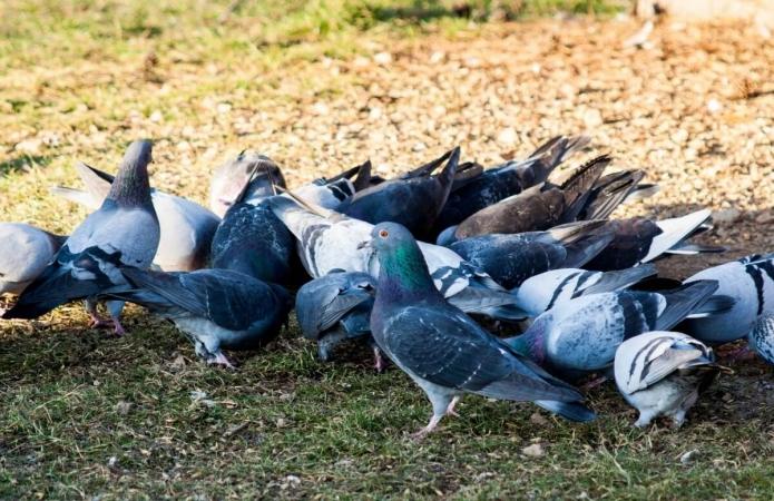 Les pigeons font partie des animaux les plus nourris en ville