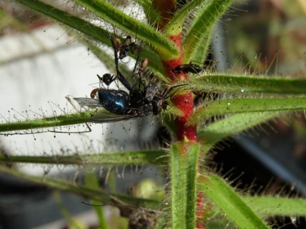 Les punaises attaquent une mouche capturée par une Roridula