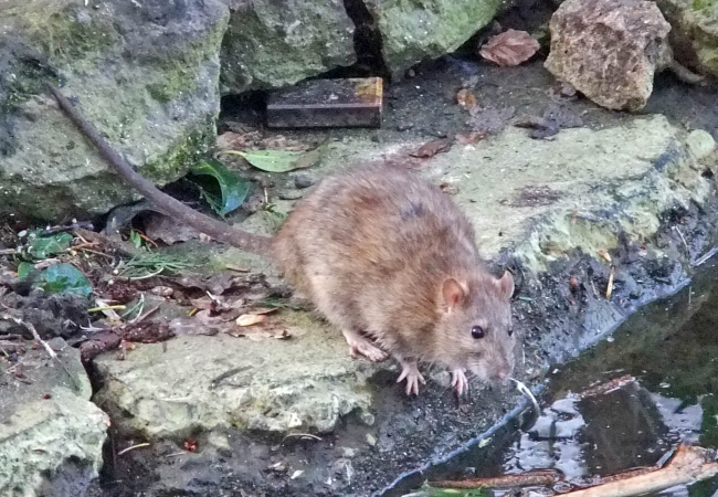 Les rats surmulot pullulent, notamment grâce au pain que les passants jettent aux canards