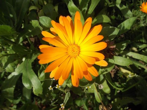 Les soucis (Calendula officinalis)