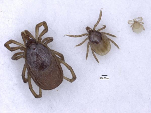 Les trois stases d'une tique de gauche à droite : femelle, nymphe et larve. Noter la présence de l'écusson, plus sombre sur la face dorsale des tiques dures.