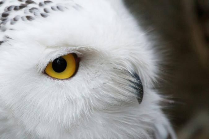Les yeux du harfang des neiges