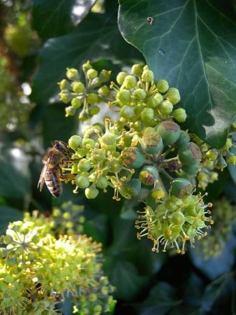 Lierre en fleur butiné par une abeille domestique