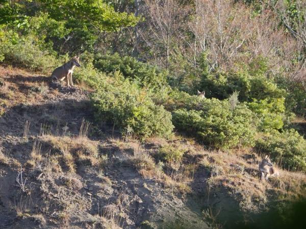 Loups sauvages dans le massif des Abruzzes (Italie)