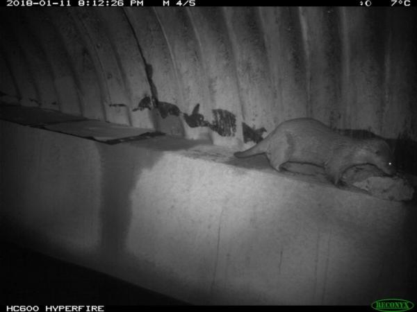Loutre empruntant un passage à faune aménagé sous un pont, photo pris lors d'un suivi par piégeage photographique.