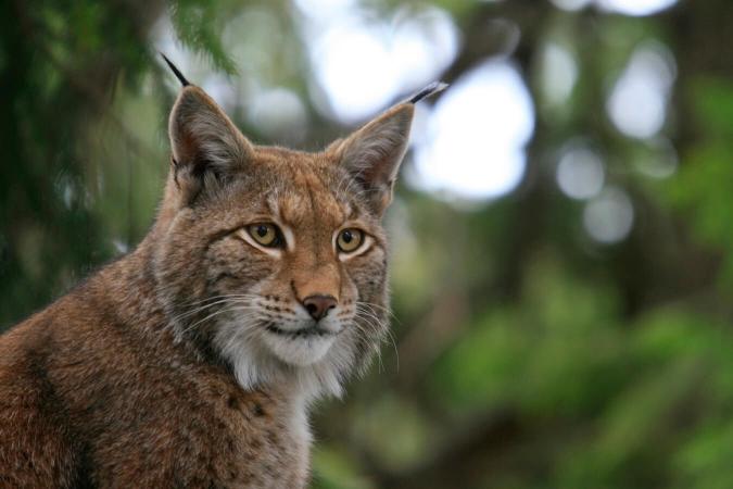 Lynx en pleine forêt