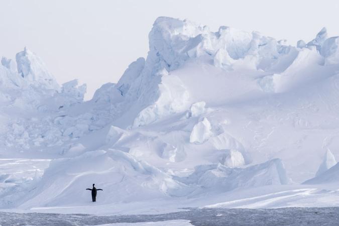 Manchot empereur photographié en Terre Adélie, en Antarctique.