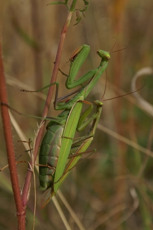 Mantis religiosa en accouplement Anneville-Ambourville