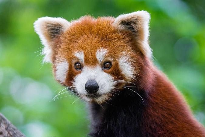 Masque facial du panda roux