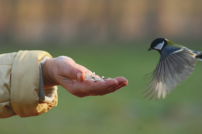 Mésange charbonnière allant se nourrir de graines dans la main d'un passant