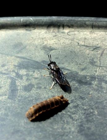 Mouche soldat noire - Black soldier fly - Hermetia illucens