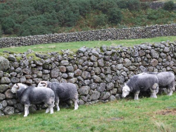 Moutons herdwick à Cumbria devant un mur de pierre sèche