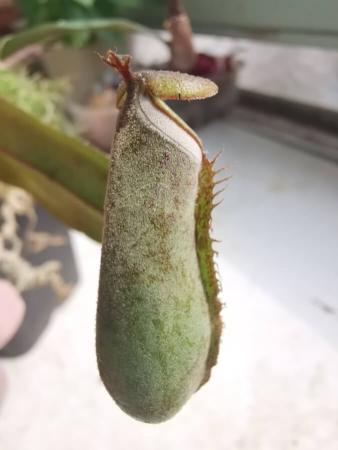 Nepenthes albomarginata, on voit bien la ligne blanche au niveau de l'ouverture qui va attirer les termites dans son piège
