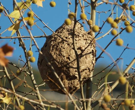 Nid de frelon à pattes jaunes dans le Gard