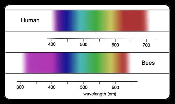 Alors que nous pouvons apercevoir des couleurs allant du violet au rouge, l'abeille voit loin dans l'ultra-violet (inférieure à 400 nm), invisible à nos yeux. En revanche elle voit difficilement le rouge. Les échelles en-dessous de chaque spectre indiquent la longueur d'onde (en nm) correspondant à chaque couleur.