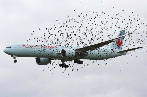 Nuée d'oiseaux en premier plan d'un avion de ligne