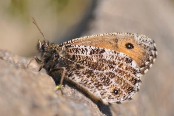 Nymphalidae Satyrinae - Chamoisé alpin