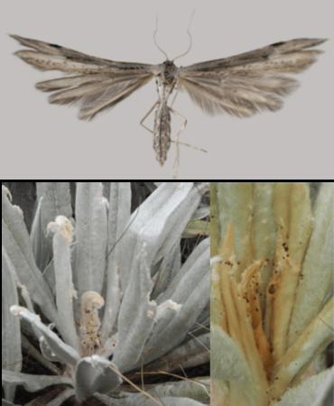 Oidaematophorus espeletiae (en haut) et les dommages occasionné sur les feuilles d'Espeletia grandiflora dans le páramo de Chingaza, Colombia