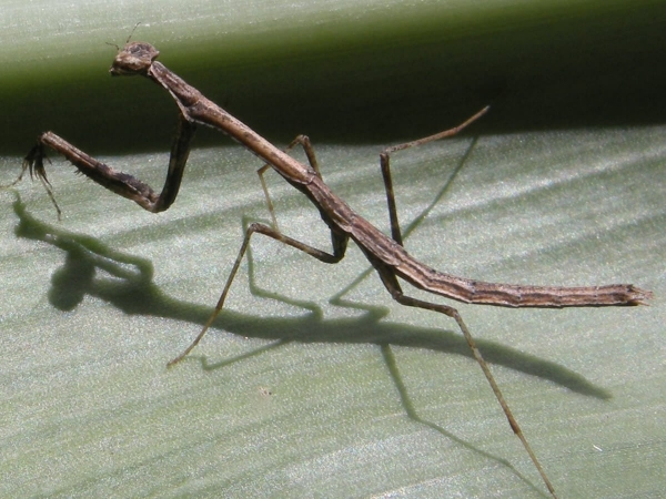 Oligonyx insularis Femelle Martinique