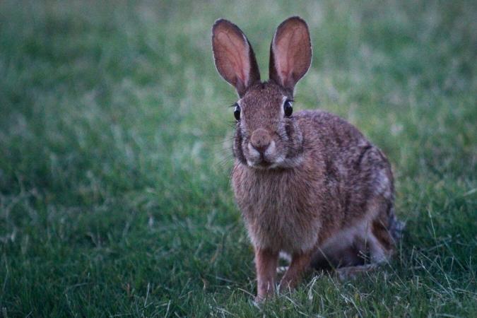 Oreilles de lapin aux aguets au levé du jour