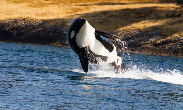 Orque en plein saut sur la côte ouest des États-Unis