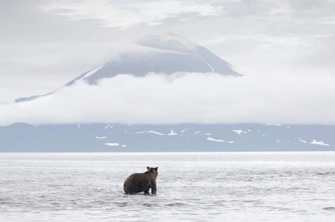 Ours brun du Kamtchatka, devant le volcan Ilinski