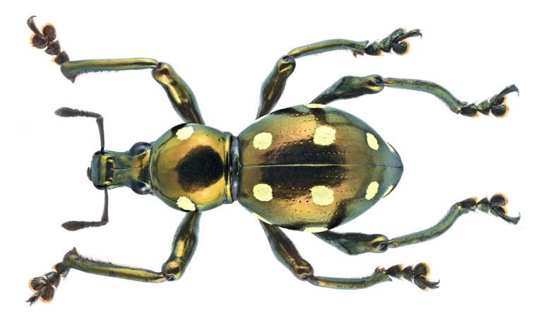 Pachyrrhynchus erichsoni