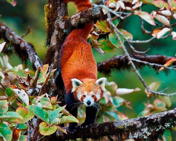 Panda roux évoluant dans un arbre dans le parc national de Singalila