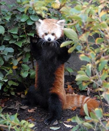 Panda roux se tenant debout en posture d'intimidation
